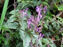 Vị thuốc bán chi liên và bạch hoa xà thiệt thảo
