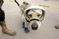 Chó săn nổi tiếng vì tham gia cứu hộ trong trận động đất Mexico