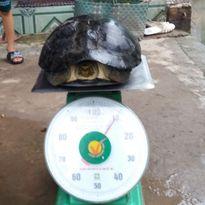 Mục sở thị rùa nặng hơn 10kg người dân miền Tây bắt được