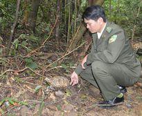 Một cá thể rùa quý hiếm được người dân bàn giao cho Vườn Quốc gia Bạch Mã