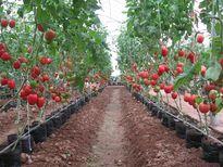 Một số giống rau ăn quả phù hợp sản xuất vụ đông