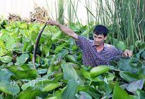 Người nuôi hàng trăm con rắn dưới đám lục bình, người cho bò lổm ngổm trên sàn nhà