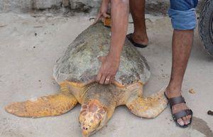 Rùa 60 kg bơi lạc vào bể nước của Nhiệt điện Vĩnh Tân 2