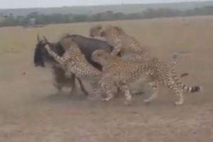 Clip: Báo săn 'quây hội đồng' giết linh dương đầu bò