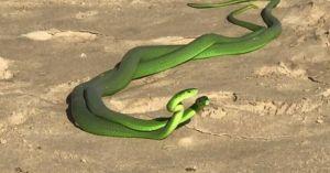Cặp rắn xanh kỳ quái cực độc quyết chiến giành 'mỹ nhân'