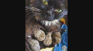 Mèo bất chấp gai nhọn nuôi 8 chú nhím mồ côi mẹ