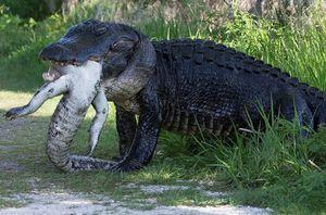 Clip: 'Khiếp vía' trước cảnh cá sấu cố nuốt xác đồng loại