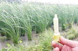Thực vật giống cây lúa cao 2 m nghi nhập từ Đài Loan