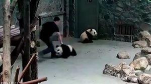 Nhân viên sở thú bị lên án vì ngược đãi gấu trúc