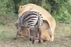 Clip: Sư tử hợp sức hạ sát ngựa vằn