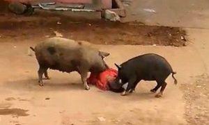 Lợn hung dữ tấn công người phụ nữ nhập viện