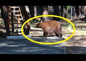 Ngăn gấu đột nhập vào nhà bằng cách chơi đàn violon
