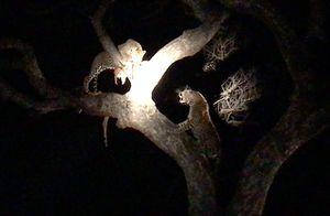 Clip: Linh cẩu 'đắc lợi' từ cuộc ác chiến của hai chú báo