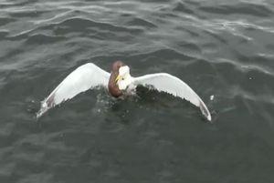 Clip: Màn 'thủy chiến' ác liệt giữa chồn sương và mòng biển