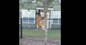 Chó đu cây bẻ cành để chơi ném gậy