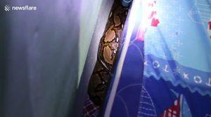 Phát hiện trăn 'khổng lồ' ẩn dưới gầm giường đứa trẻ
