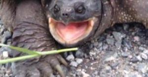 Rùa khổng lồ ra đòn cực nhanh khiến người đàn ông bị thương chảy máu