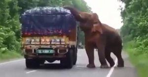 Voi rừng Ấn Độ chặn đầu xe tải cướp khoai tây