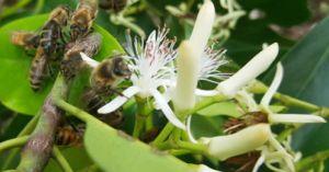 'Cơ trưởng' dẫn ong lấy mật hoa sú vẹt: Bu kín mặt, không sợ mới lạ