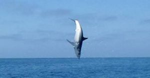 Cá mập phi thân lên không bắt mồi