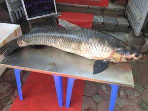 Bắt được cá trắm 'khủng', dài gần 1,5m trên hồ Thác Bà