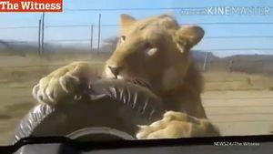 Thót tim cảnh sư tử treo mình sau ôtô dọa người