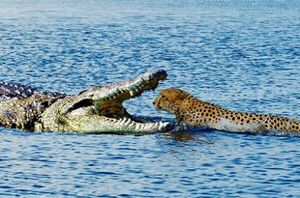 Những cuộc đại chiến khốc liệt giữa báo đốm và cá sấu