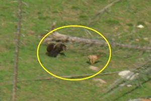 Clip: Gấu xám Bắc Mỹ trổ tài săn nai sừng xám