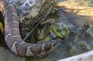 Clip: Ếch quyết tâm 'ngọc đá cùng tan' với rắn độc