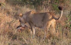 Clip: Sư tử cái giành mồi với trăn khổng lồ