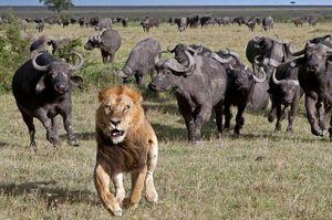 Clip: Trâu rừng hùa nhau đuổi đánh sư tử