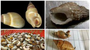 Cảnh báo: Ăn ốc lạ chứa chất cực độc ở Ninh Thuận