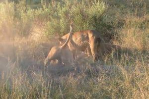 Clip: Bầy sư tử đào hang tiêu diệt lợn rừng