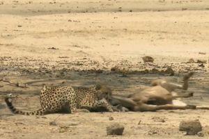 Clip: Báo săn hạ sát linh dương Kudu trong chớp mắt