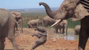Clip: Khát tình voi đực tức giận, quật voi con như đập bóng