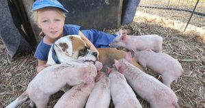 Cô chó từng bị bỏ rơi nhận 'nuôi' 8 chú lợn và câu chuyện xúc động phía sau