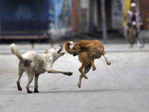 Số phận của chó thả rông ở một số nước châu Á