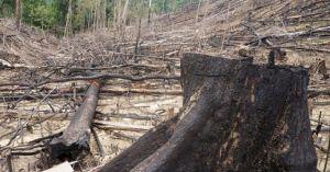 Ảnh-clip: Khủng khiếp cảnh phá rừng phòng hộ ở Quảng Nam