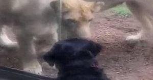 Toan vồ chó, sư tử đâm sầm vào tường kính