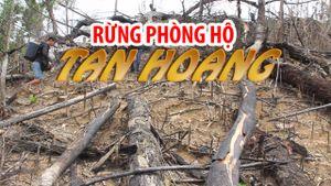 Cận cảnh rừng phòng hộ Tiên Lãnh bị tàn phá để trồng keo