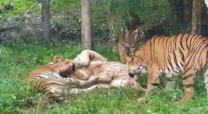 Video: Đàn hổ Bengal giết chết hổ trắng quý hiếm