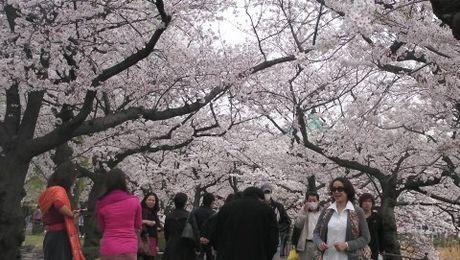 Ngap sac hoa anh dao Nhat Ban - Anh 1