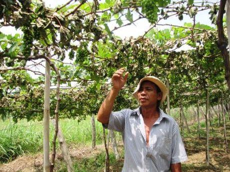 Ninh Thuan: Vuon nho 1.300 goc bi pha sach trong dem - Anh 1