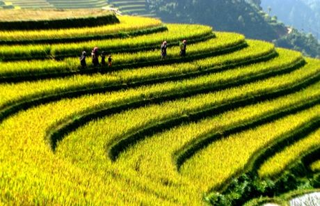 Mua vang Mu Cang Chai - Anh 1