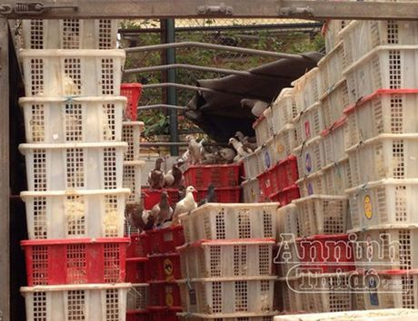 Ha Noi: Phat hien 4.000 con chim bo cau nghi nhap lau tu Trung Quoc - Anh 1