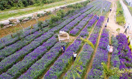 Hoa oai huong no tim tren cao nguyen Lao Cai - Anh 1