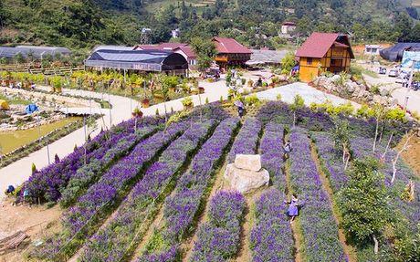 Hoa oai huong no tim tren cao nguyen Lao Cai - Anh 2
