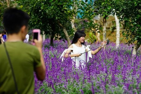 Hoa oai huong no tim tren cao nguyen Lao Cai - Anh 3