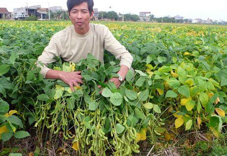 Huong dan bon phan NPK Van Dien cho cay dau tuong dong - Anh 1
