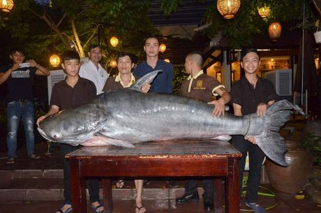 Ca tra 'khung', nang hon 200 kg sa luoi ngu dan Hau Giang - Anh 2